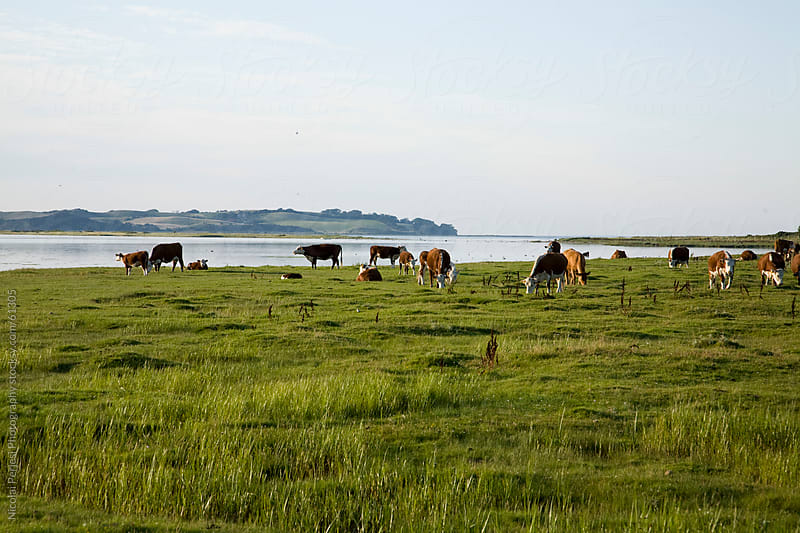 Field with cows in Denmark. by Nicolai Perjesi Photography for Stocksy United