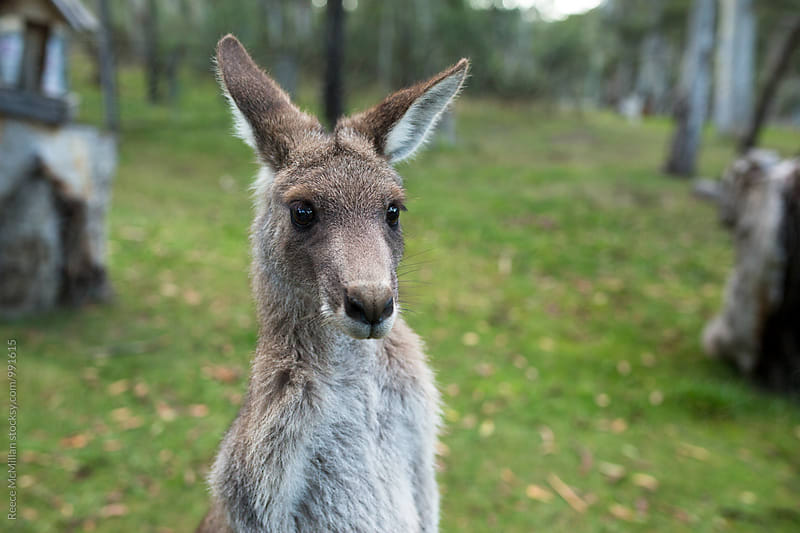 Portrait of a Kangaroo by Reece McMillan for Stocksy United