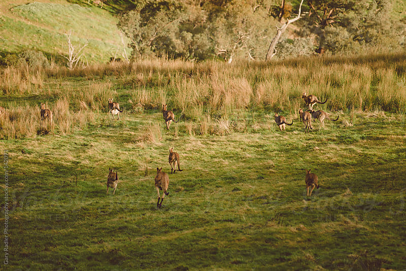 Mob of kangaroos jumping away  by Gary Radler Photography for Stocksy United
