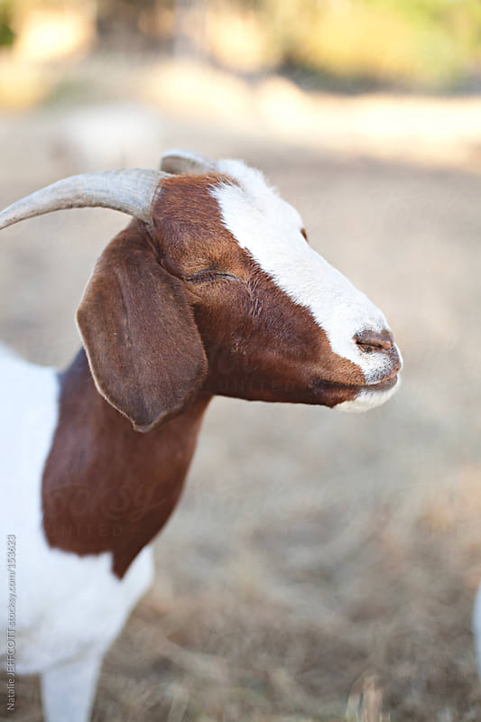 Happy and content goat with it's eyes closed by Natalie JEFFCOTT for Stocksy United