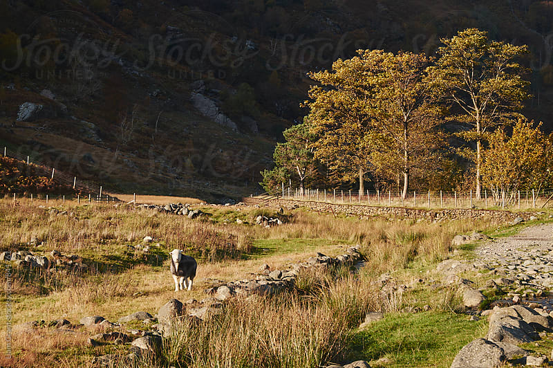 Herwick sheep and sunlit trees. Seathwaite, Cumbria, UK. by Liam Grant for Stocksy United