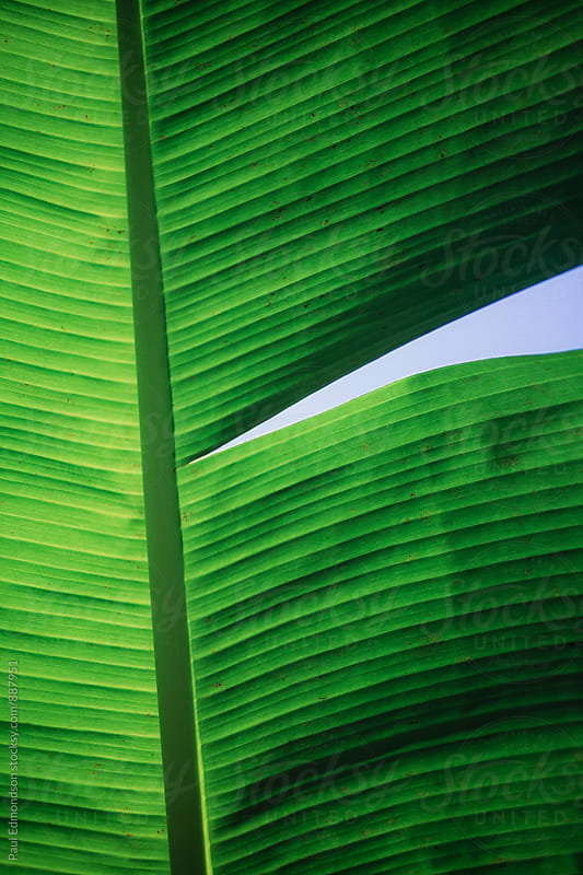 Close up of tropical banana leaf, Amazon, Brazil by Paul Edmondson for Stocksy United
