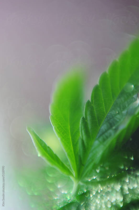 Abstract cannabis leaf by Kim Swain for Stocksy United