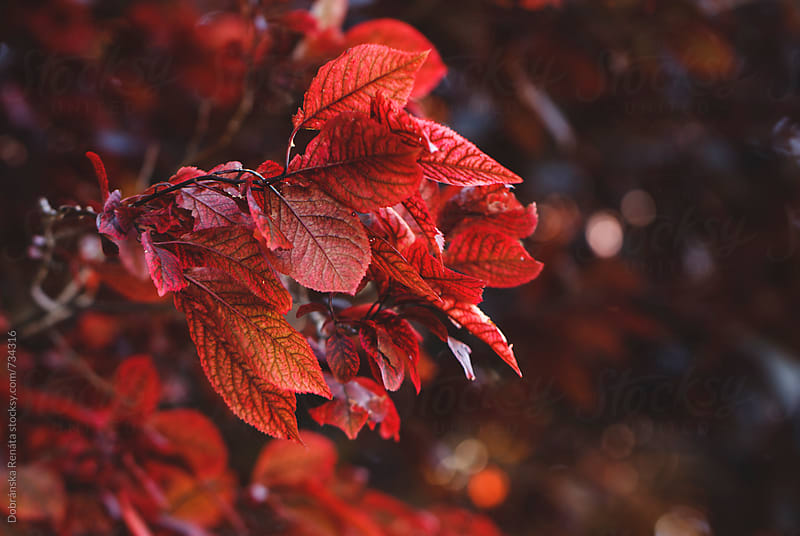 Red Leaves On Tree by Dobránska Renáta for Stocksy United