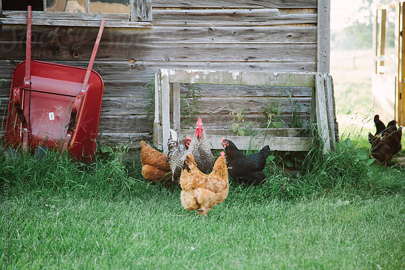 Free range chickens outside of a haybarn in the summer. by Sarah Lalone for Stocksy United