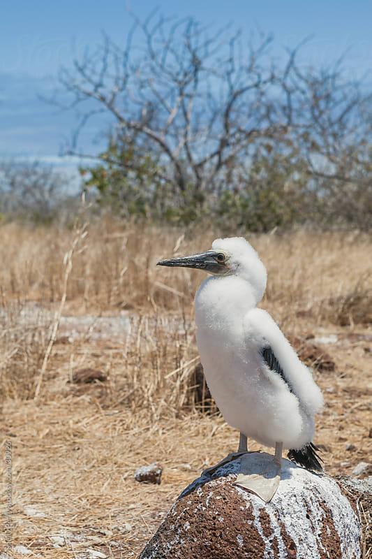 Young Blue-footed Booby on the Galapagos by Shelly Perry for Stocksy United
