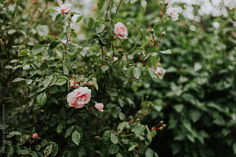 Garden roses by Natasa Kukic for Stocksy United