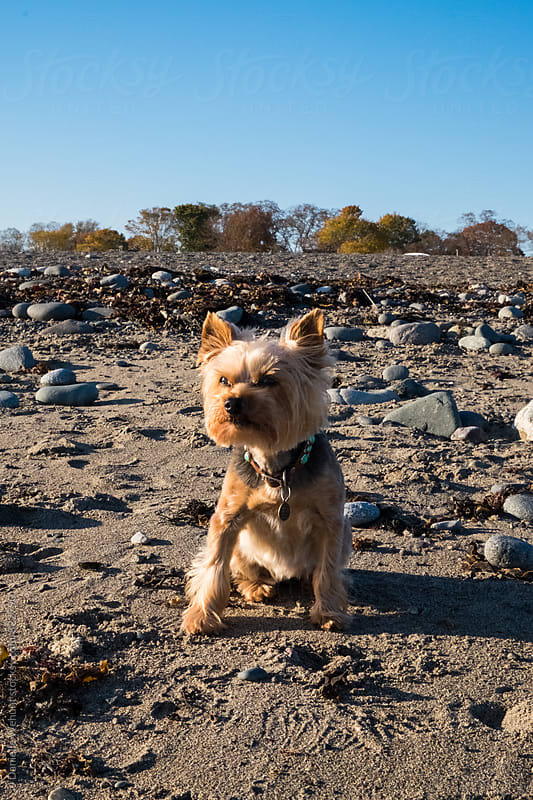 A small yorkshire terrier sitting along a rocky beach at the ocean. by J Danielle Wehunt for Stocksy United
