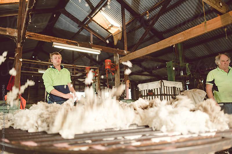 Throwing the Fleece for Sorting by Gary Radler Photography for Stocksy United