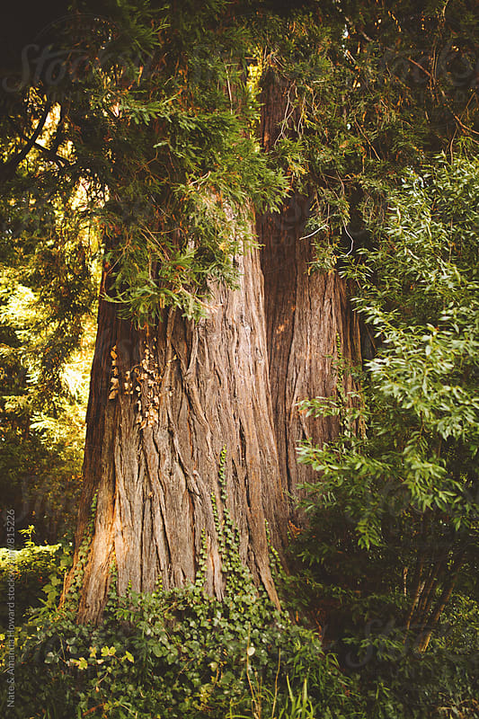Redwood trees by Nate & Amanda Howard for Stocksy United