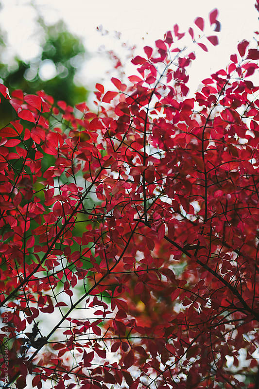 Red Leaves by Tina Crespo for Stocksy United