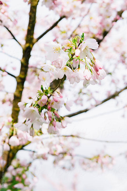 Cherry Blossoms Closeup by Ronnie Comeau for Stocksy United