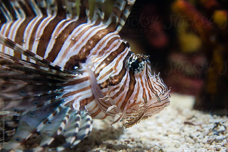 Striped lion fish in aquarium  by Kerry Murphy for Stocksy United