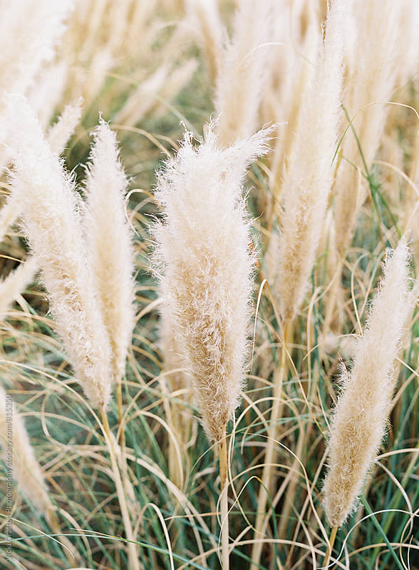 Marsh grasses  by Vicki Grafton Photography for Stocksy United
