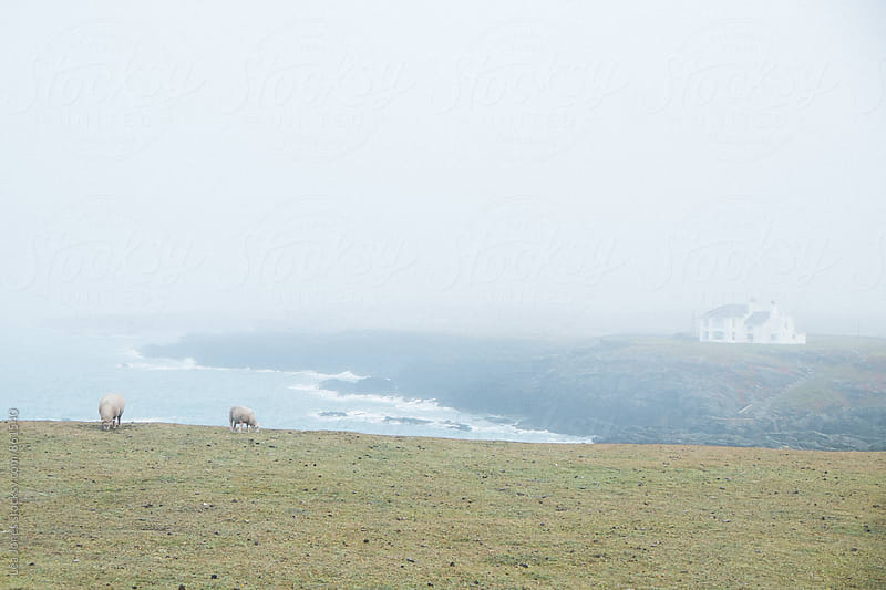sheep grazing on hip next to the sea by Léa Jones for Stocksy United