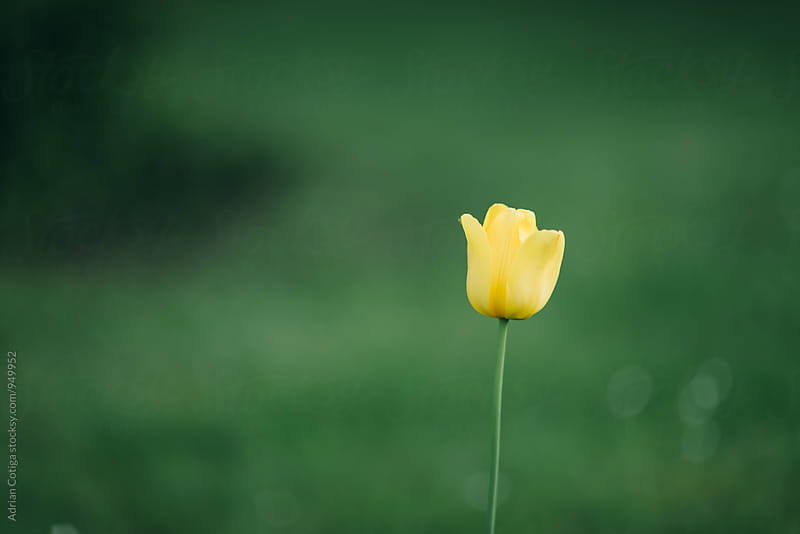 Yellow tulip on a green grass background by Adrian Cotiga for Stocksy United