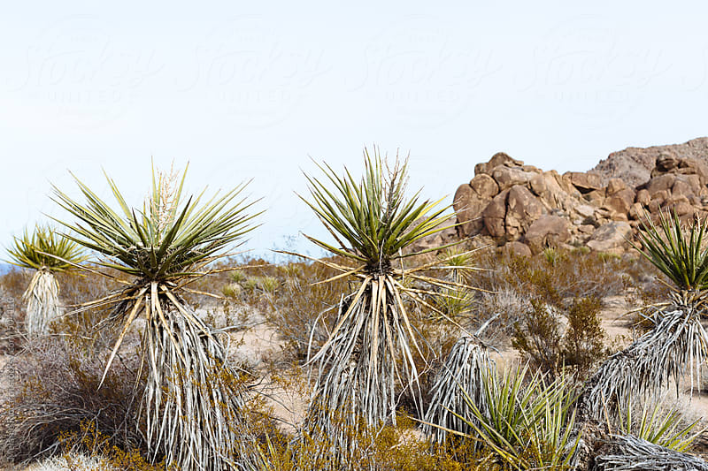 Palm trees in desert landscape by Melanie Riccardi for Stocksy United
