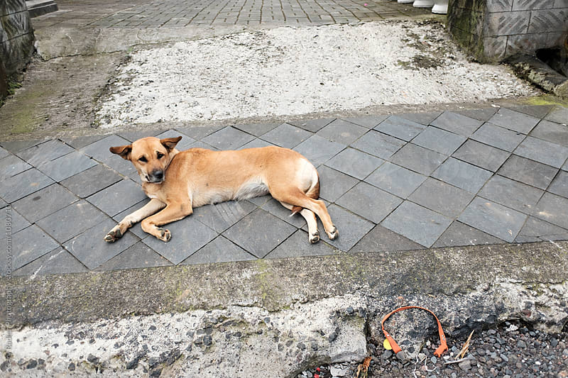 Bali Dog by Gary Radler Photography for Stocksy United