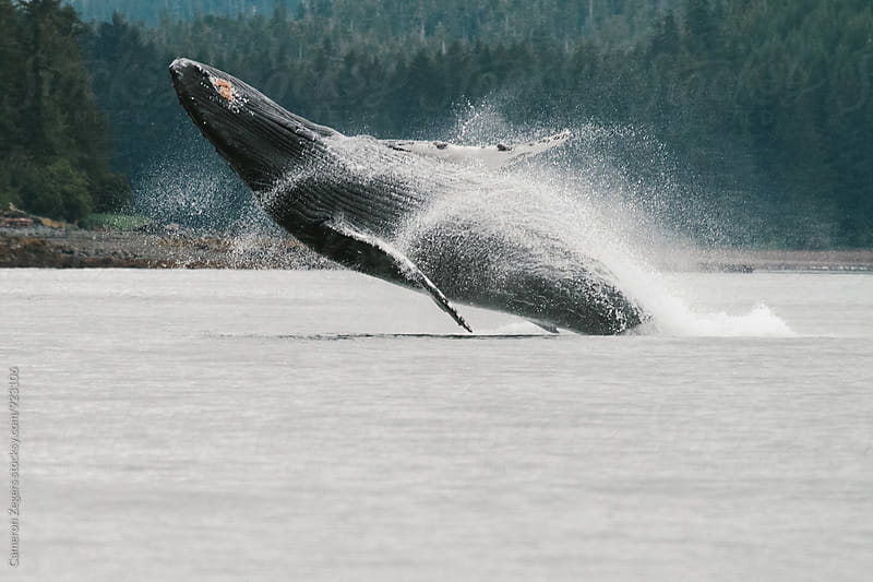 baby humpback whale breaching in Alaska by Cameron Zegers for Stocksy United