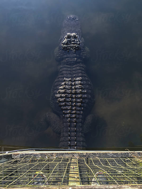 American alligator floating in the water by Adam Nixon for Stocksy United