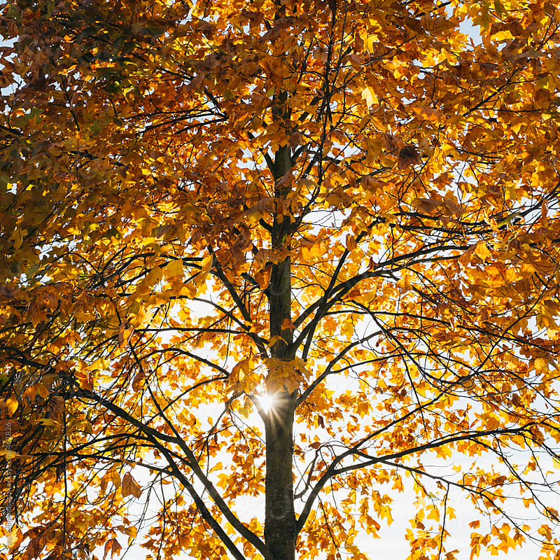 Maple tree in autumn, sunlight shining through leaves by Paul Edmondson for Stocksy United