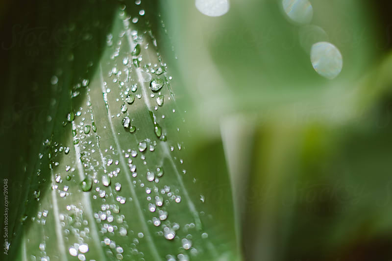 Water droplets on a large leaf after the rain by Adrian Seah for Stocksy United