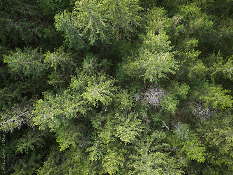 Top view of coniferous forest by rolfo for Stocksy United