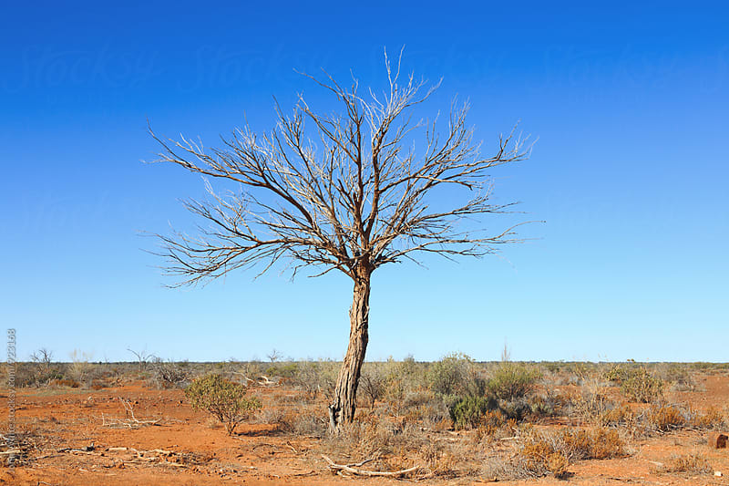 Dead tree. Australia. by John White for Stocksy United
