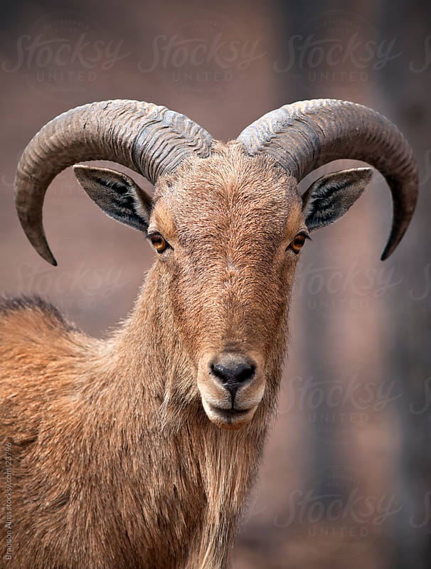 Barbary Sheep Portrait Closeup by Brandon Alms for Stocksy United