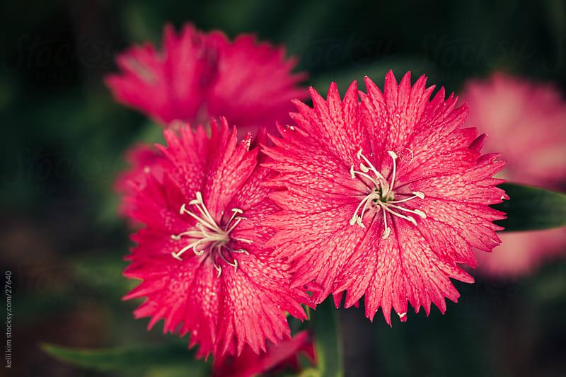 Bright pink flowers in bloom by Kelli Seeger Kim for Stocksy United
