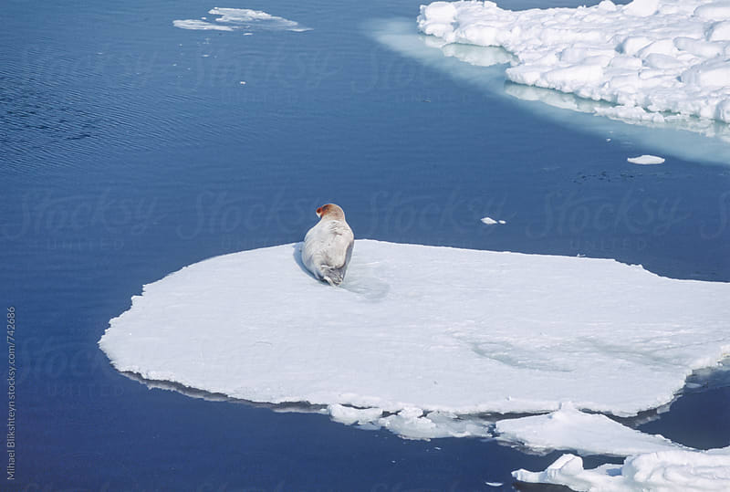 Wild Bearded Seal resting on an ice float in northern Bering Sea, Alaska by Mihael Blikshteyn for Stocksy United