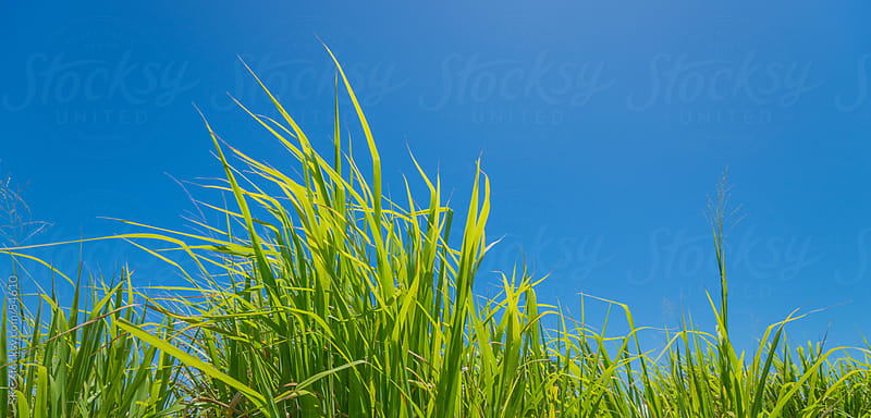 Wild Grasses on a Clear Sunny Day by suzanne clements for Stocksy United