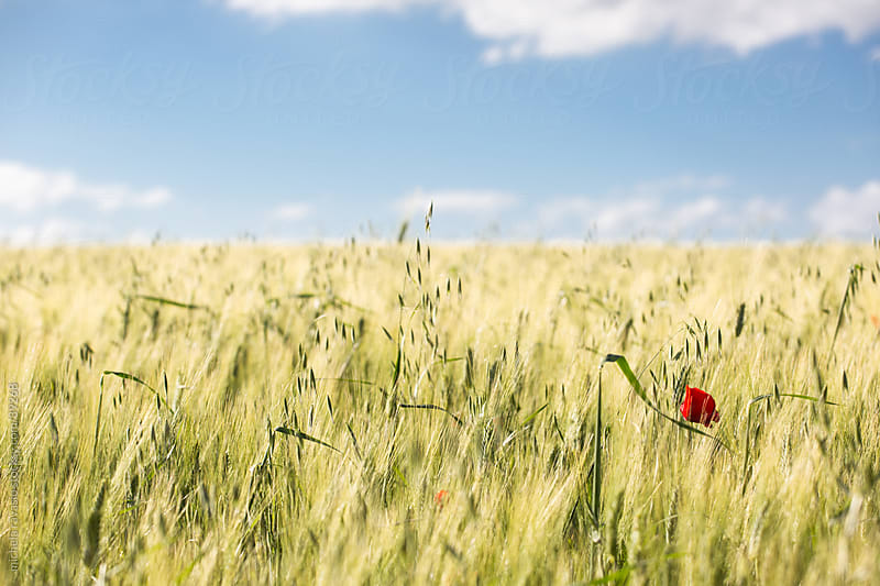 Wheat field by michela ravasio for Stocksy United