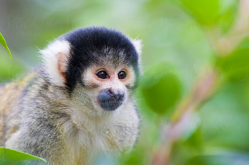 Black Capped Squirrel Monkey by Alex Hibbert for Stocksy United
