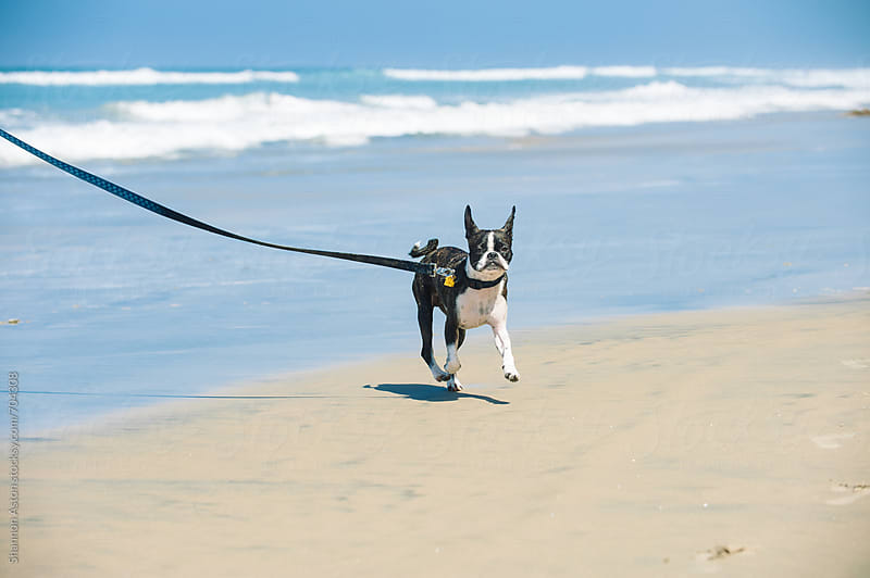 Bruce the Boston Pug at the beach. by Shannon Aston for Stocksy United