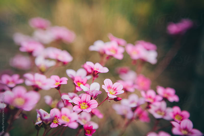 Pink Flowers by Shelly Perry for Stocksy United