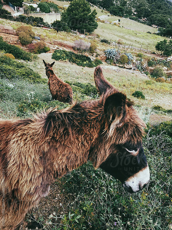 Two Wild Donkeys in Sicilian Countryside by VISUALSPECTRUM for Stocksy United