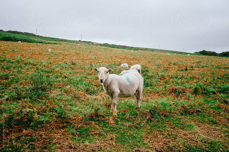 Sheep in Wales by Jen Grantham for Stocksy United