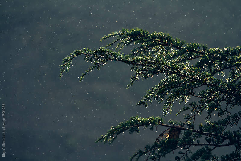 Rain over the pine branch by Jordi Rulló for Stocksy United