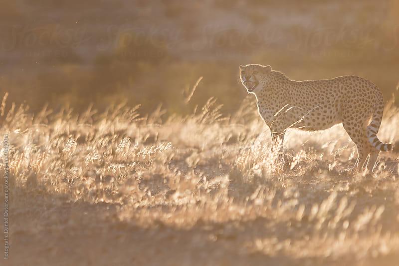 Cheetah (Acinonyx jubatus) in backlight at sunrise by Fotografie Daniel Osterkamp for Stocksy United
