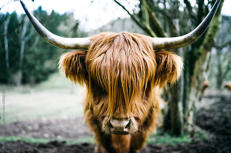 Long-haired Highland cattle looking straight into the camera by Manuel Chillagano for Stocksy United