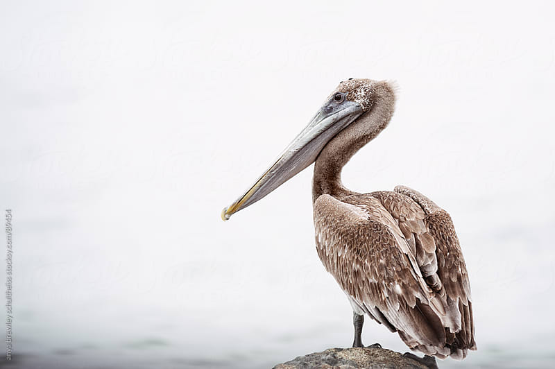 Large pelican sitting on a rock looking out to sea by anya brewley schultheiss for Stocksy United