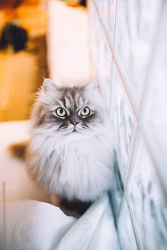fluffy cat portrait by Thais Ramos Varela for Stocksy United