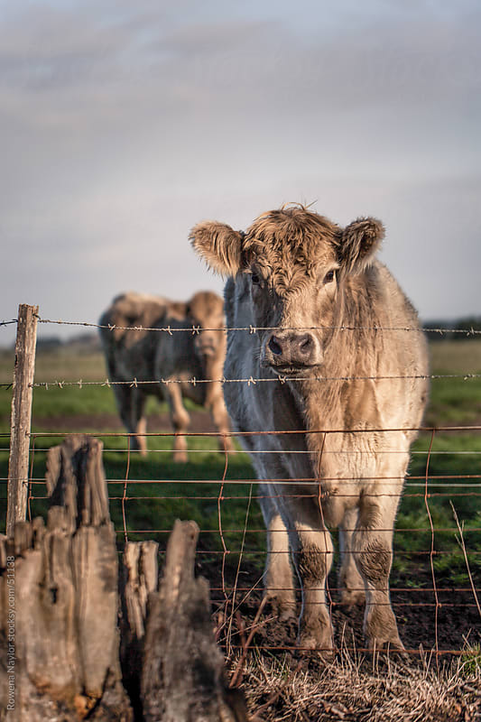 Murray Grey Beef Cattle looking into camera by Rowena Naylor for Stocksy United
