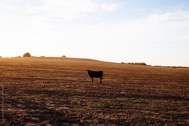 A lone cow stands in a empty paddock in Australia by Gary Parker for Stocksy United