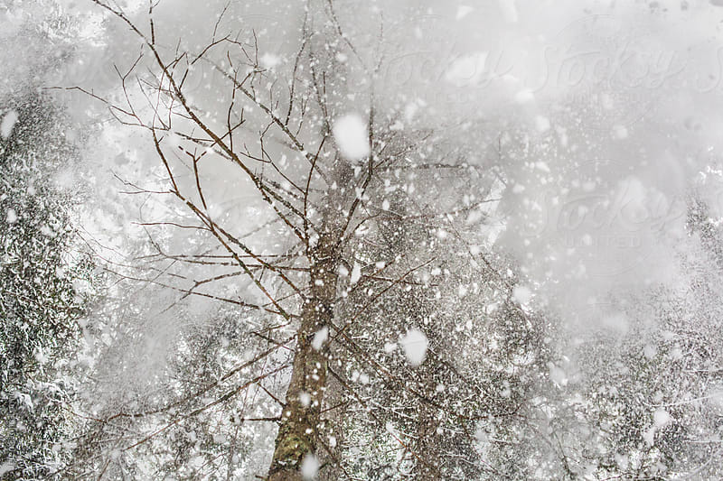 Snow falling from the tree top by Jelena Jojic Tomic for Stocksy United
