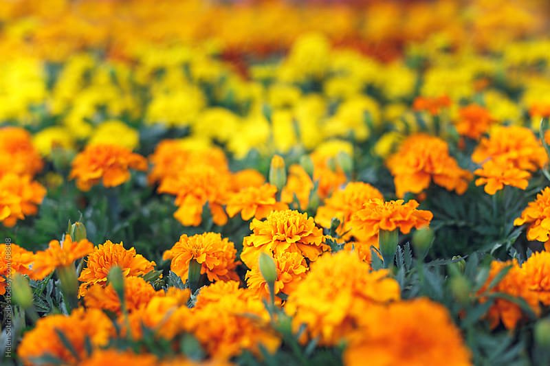 Marigolds by Helen Sotiriadis for Stocksy United