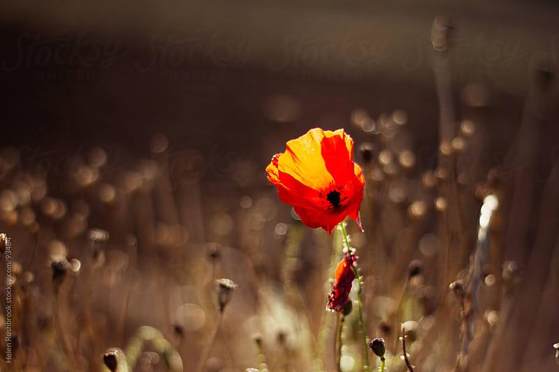 Field Poppy by Helen Rushbrook for Stocksy United