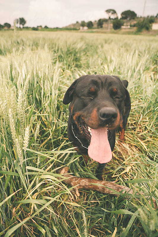 happy rottweiler in the cereal field by Javier Pardina for Stocksy United