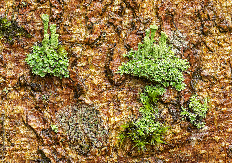 Moss on Magnolia bark by Mark Windom for Stocksy United